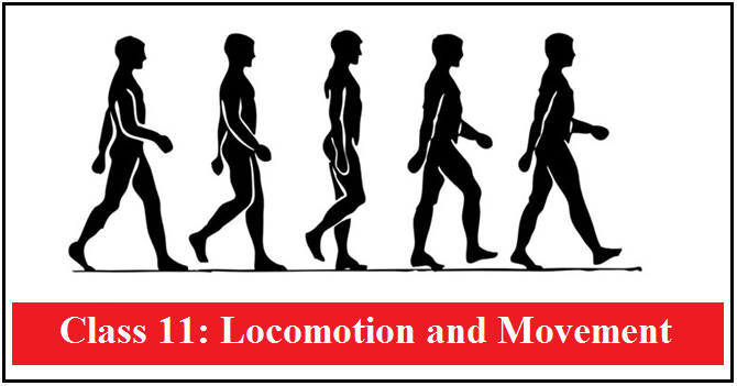 Locomotion and Movement: NCERT Solutions