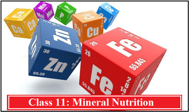Mineral Nutrition: NCERT Solutions