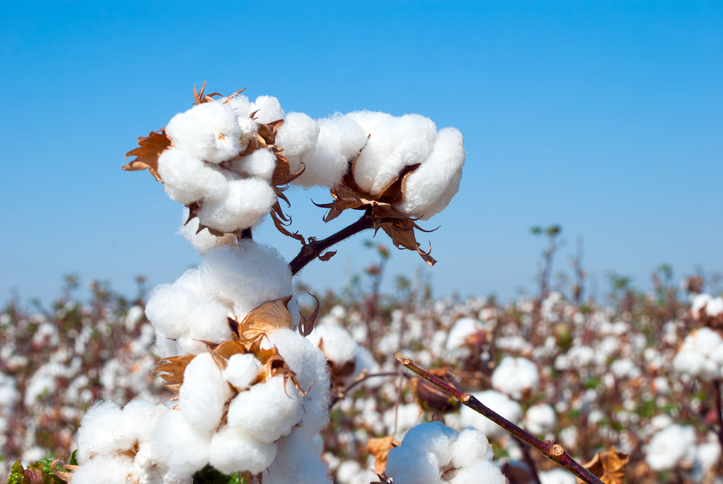 Cotton cultivation in India