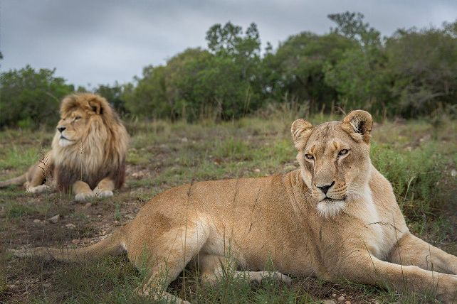 World Lion Day: Know Its Significance and History