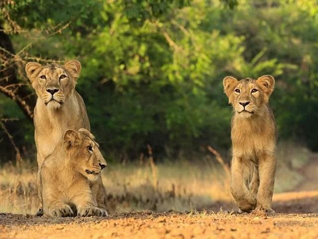 World Lion Day 2021