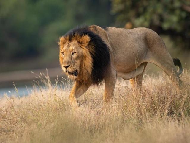 Project Lion in Gujarat