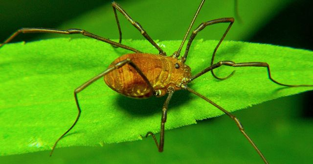 Daddy Long Leg Spiders genetically engineered by scientists to get shorter legs