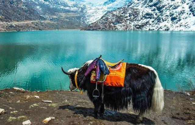 Himalayan yaks to be insured against accidents, natural disasters