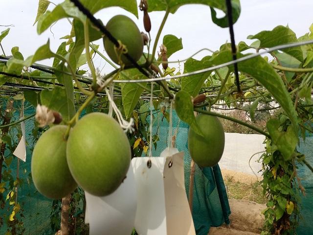Monk fruit cultivation, Source: CSIR-IHBT