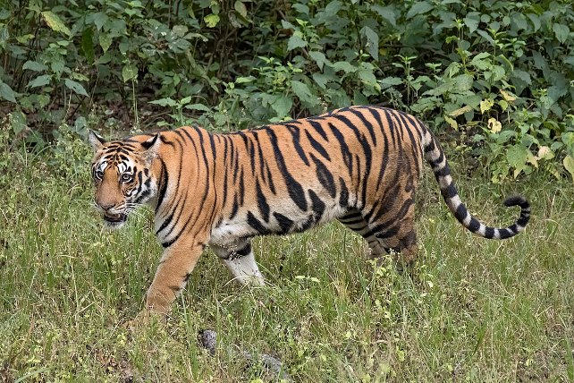 International Tiger Day 2021: History, Theme, and Significance