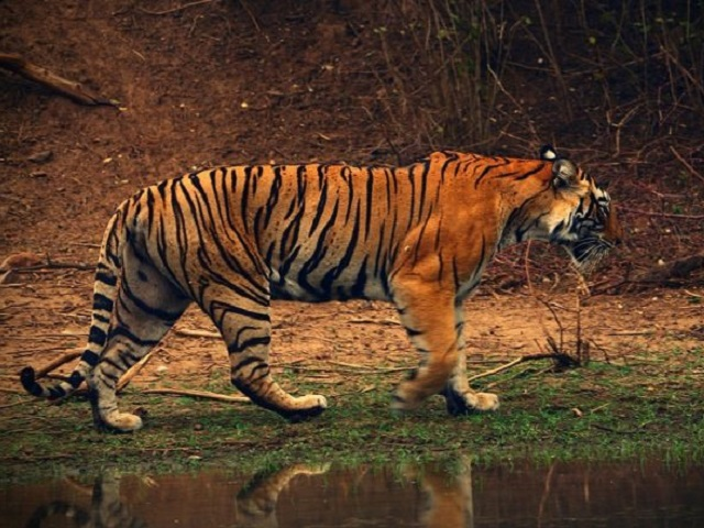 International Tiger Day 2021: Tiger Day Theme 2021, Significance, History