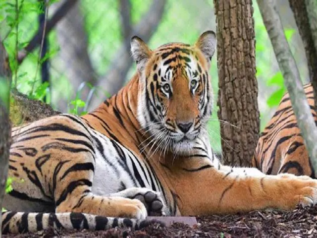 Indian Tiger Reserves, Source: PTI