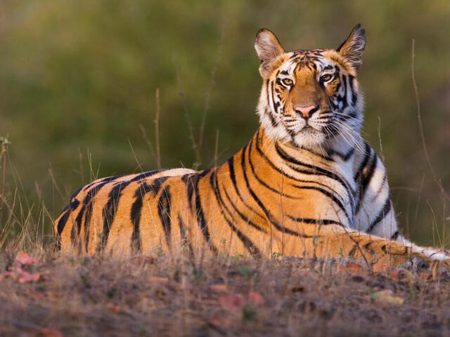India's 14 Tiger Reserves get Global CA/TS recognition for good Tiger Conservation