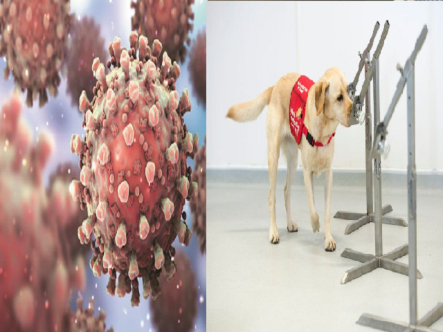 Can trained dogs detect COVID-19 infection?