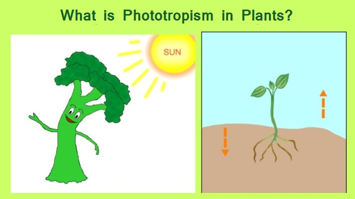 What is Phototropism in Plants?