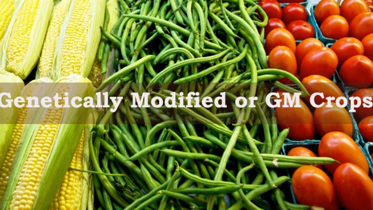 What are the advantages and disadvantages of Genetically Modified or GM Crops?