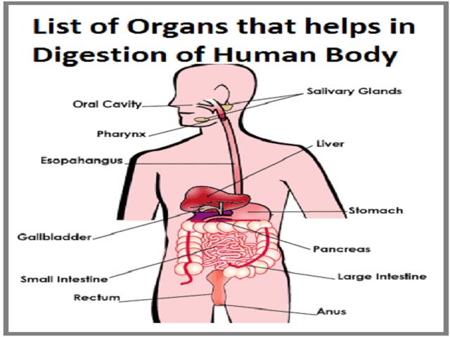 Human Digestive Organs